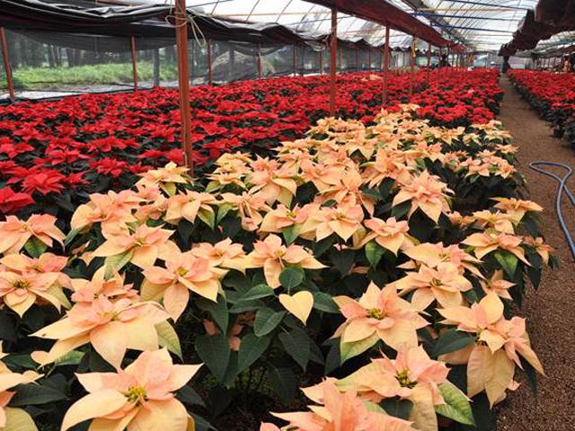 La adquisición de plantas de Nochebuena estimula la economía rural, ya que es una actividad que requiere de entre siete y 10 trabajadores por hectárea.