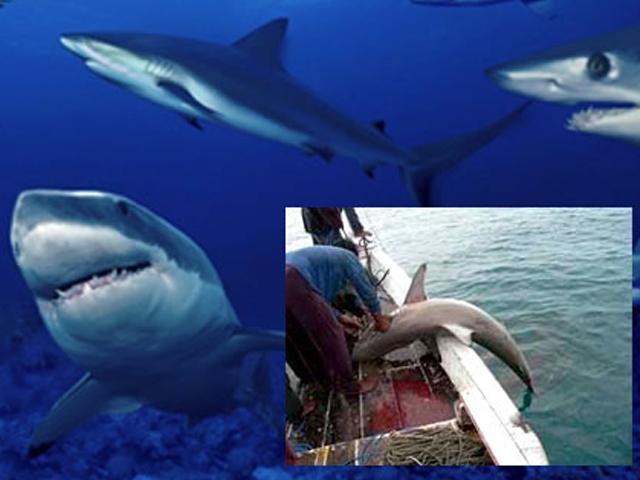 Científicos de México, Estados Unidos, Japón y Taiwán promueven sustentabilidad pesquera del Tiburón Mako
