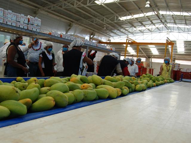 La balanza comercial agroalimentaria (incluye a los sectores agropecuarios y agroindustriales) de México con el mundo al tercer trimestre del año fue superavitaria para nuestro país en mil 117 millones de dólares.