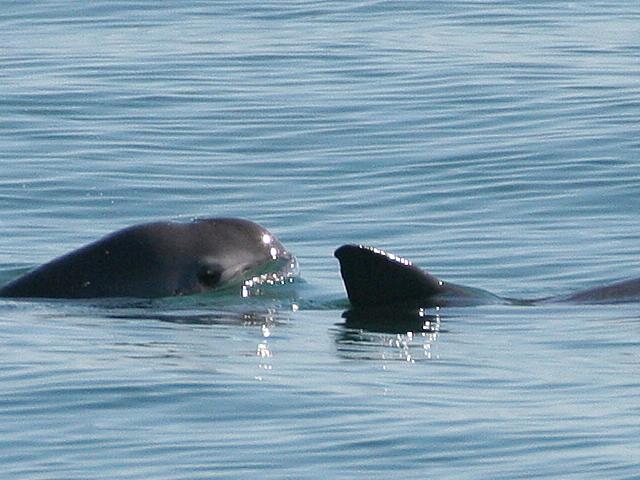 Establecen medidas de protección para la vaquita marina.