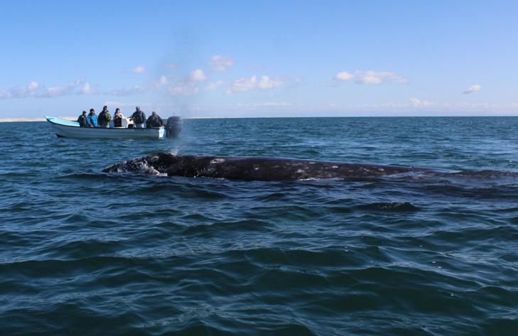 El recorrido de la ballena gris comprende una ruta de 12 mil kilómetros