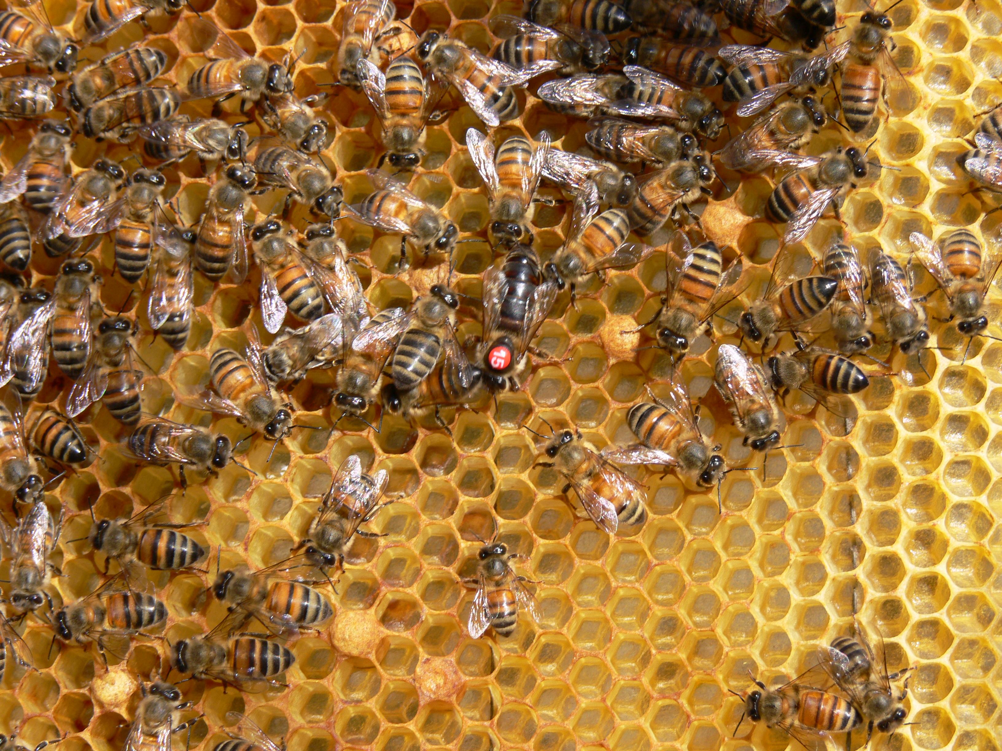 Miel orgánica oaxaqueña se consolida en Europa