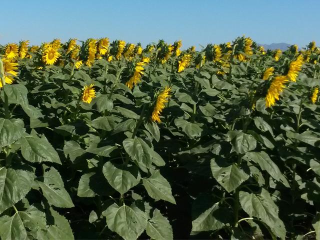 El girasol es un cultivo viable para el noreste del país por su resistencia a bajas temperaturas y la utilización de menos agua.