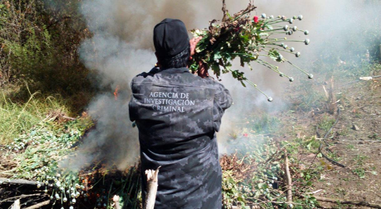 PGR inicia investigación derivada del aseguramiento e incineración de más de 60 mil plantas de amapola