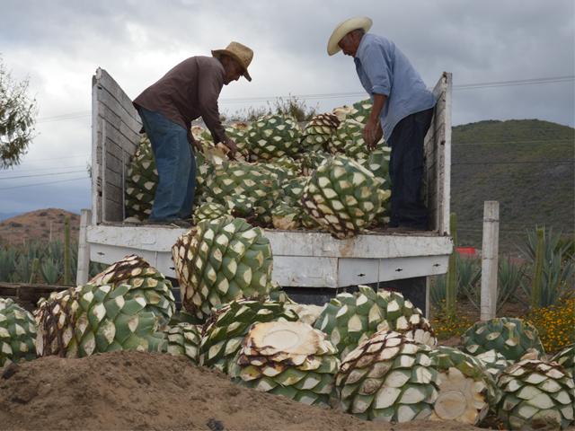 Fortalecen SAGARPA y productores cadena productiva de mezcal artesanal en Oaxaca.