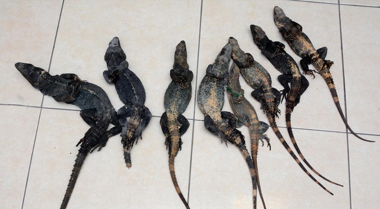 Consigna PGR a una persona por posesión de ocho iguanas negras