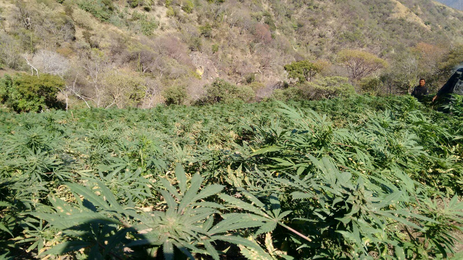 PGR destruyó 47 plantíos de mariguana y amapola en el mes de enero en Nayarit.