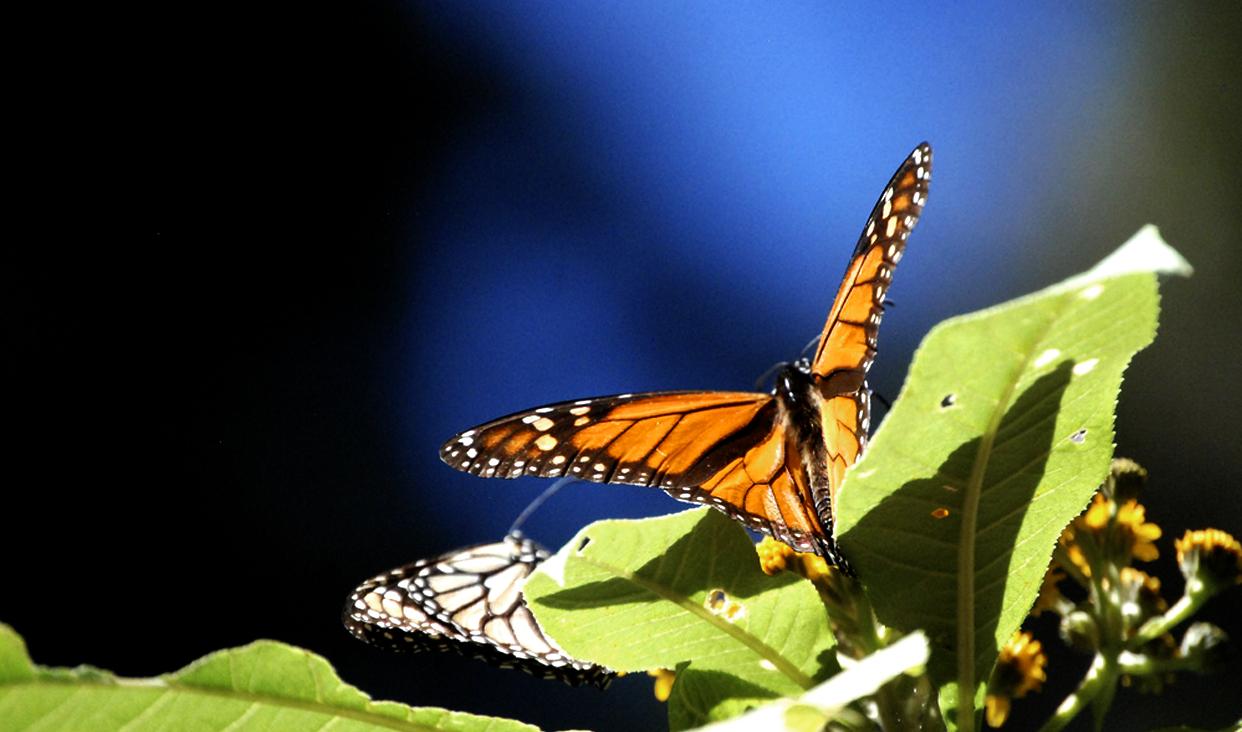 Se incrementa registro de mariposa Monarca en santuario mexicanos.