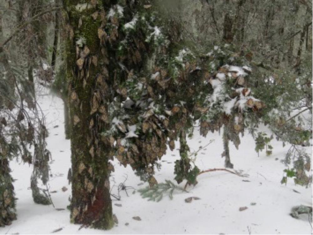 Se constató la presencia de racimos y troncos cubiertos de mariposas en buen estado de conservación