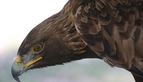 Ejemplar de Águila Real.