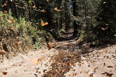 Arriba Mariposa Monarca a Santuarios mexicanos.