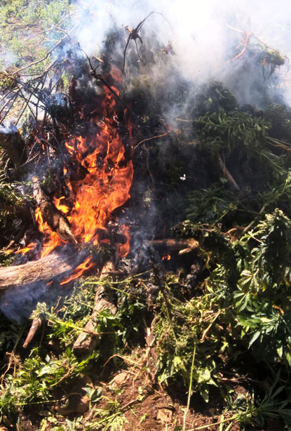 PGR localiza y destruye plantío de marihuana en Ixtlán del Río, Nayarit.