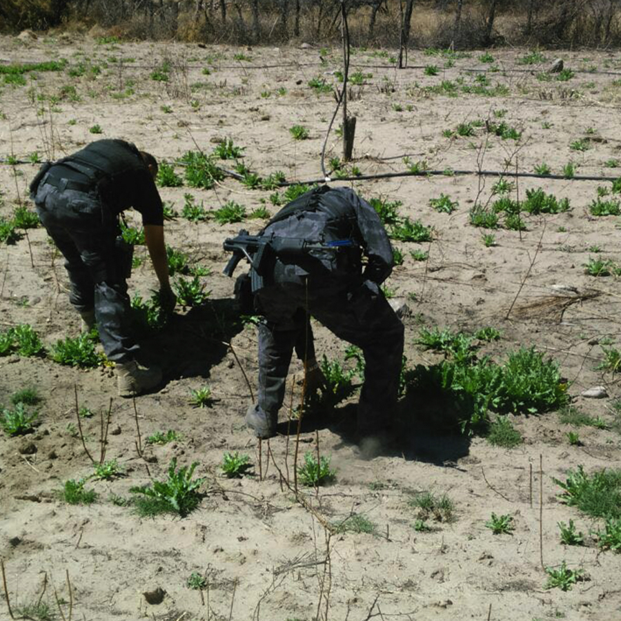 En Durango, PGR destruye un plantío de amapola.