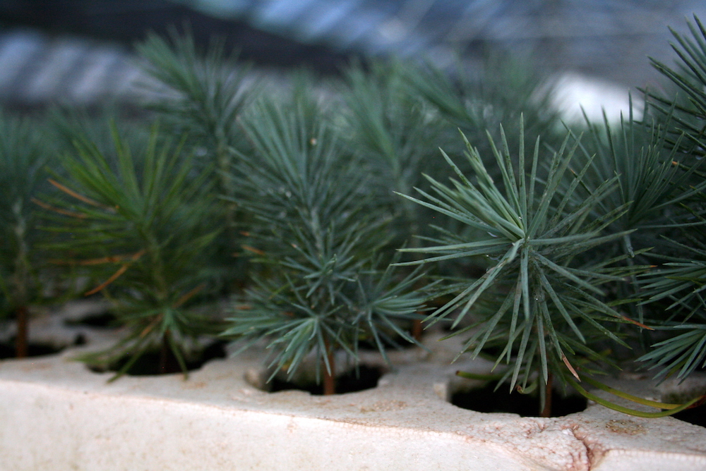 Aportan ong 39 s 34 de plantas para reforestaci n en durango for Viveros forestales conafor