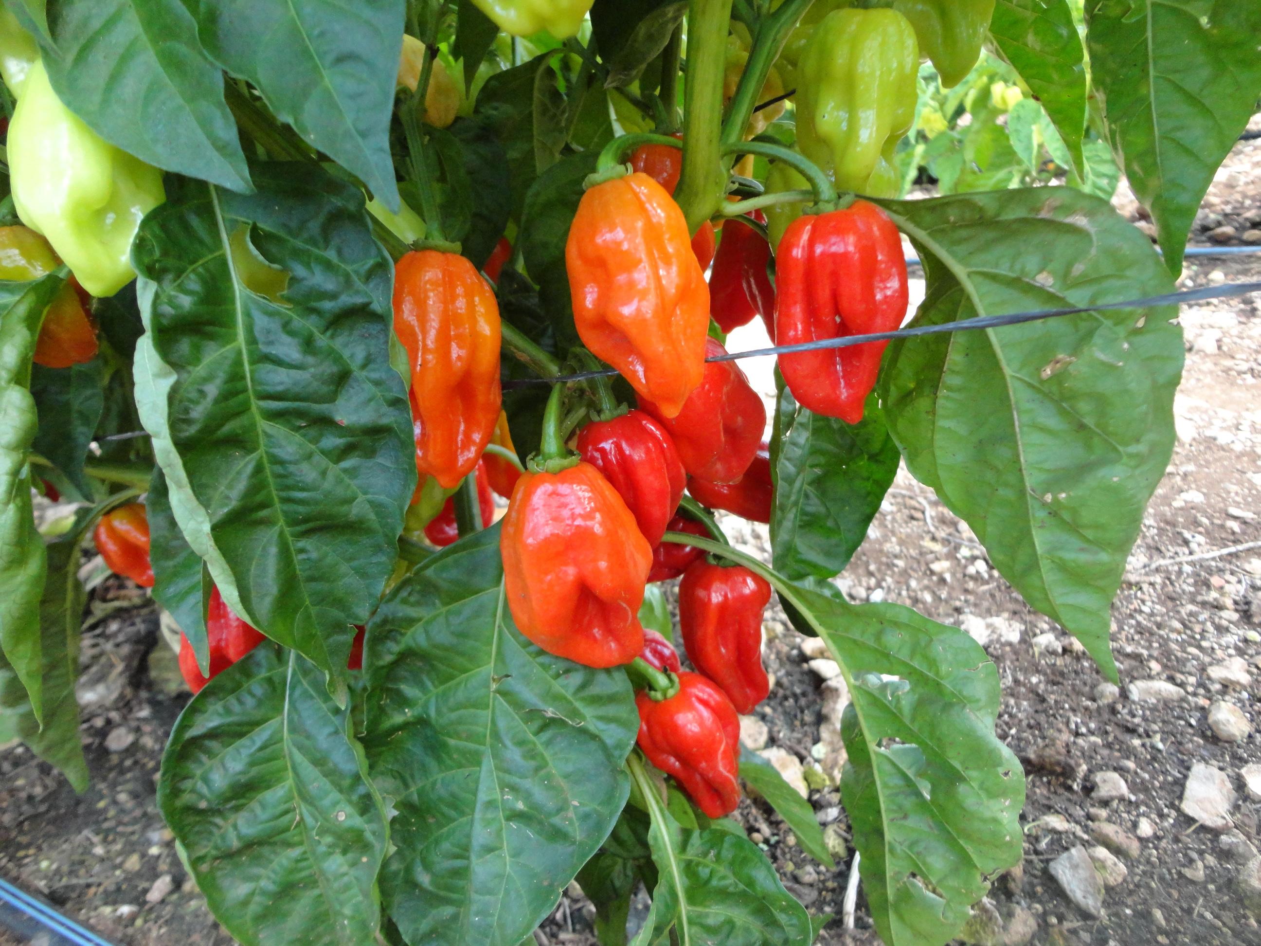 Se generan en México variedades mejoradas con rendimiento y adaptación a las regiones productivas del país.