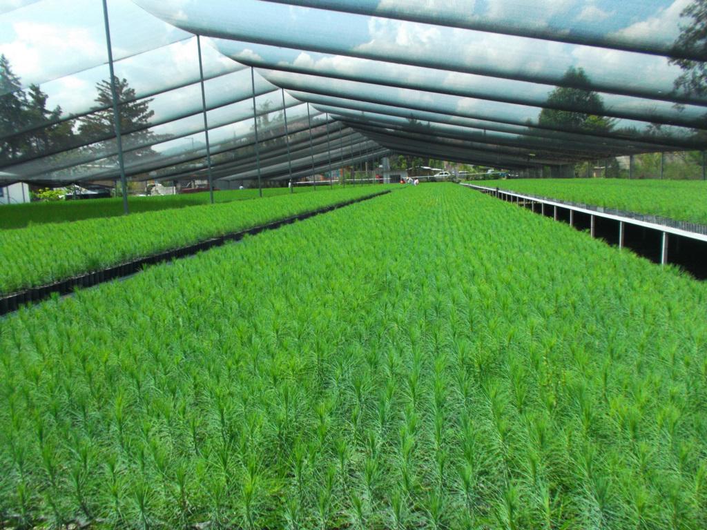 Producen 4 6 millones de plantas para reforestaci n y for Produccion de viveros