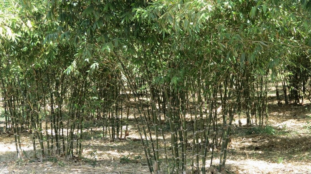 Destinan 700 mil pesos para cultivo de bamb en colima comisi n nacional forestal gobierno - Cultivo del bambu ...