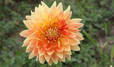 Flor nacional: Dalia
