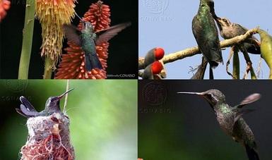 bp154_colibrí_mexico_norteamerica_20ago14