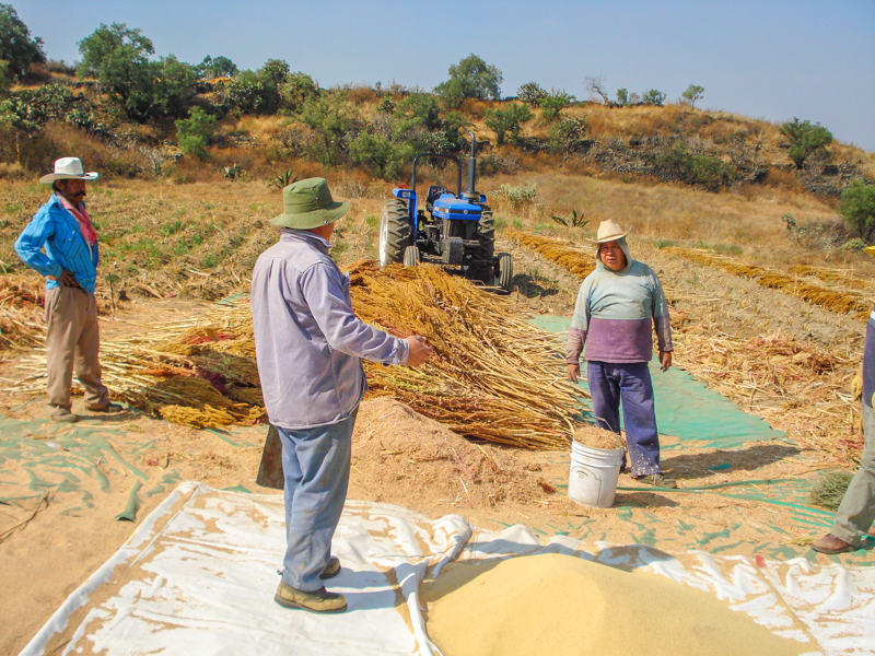 El amaranto, producto originario de México, se encuentra en vías de consolidarse como un alimento con presencia internacional