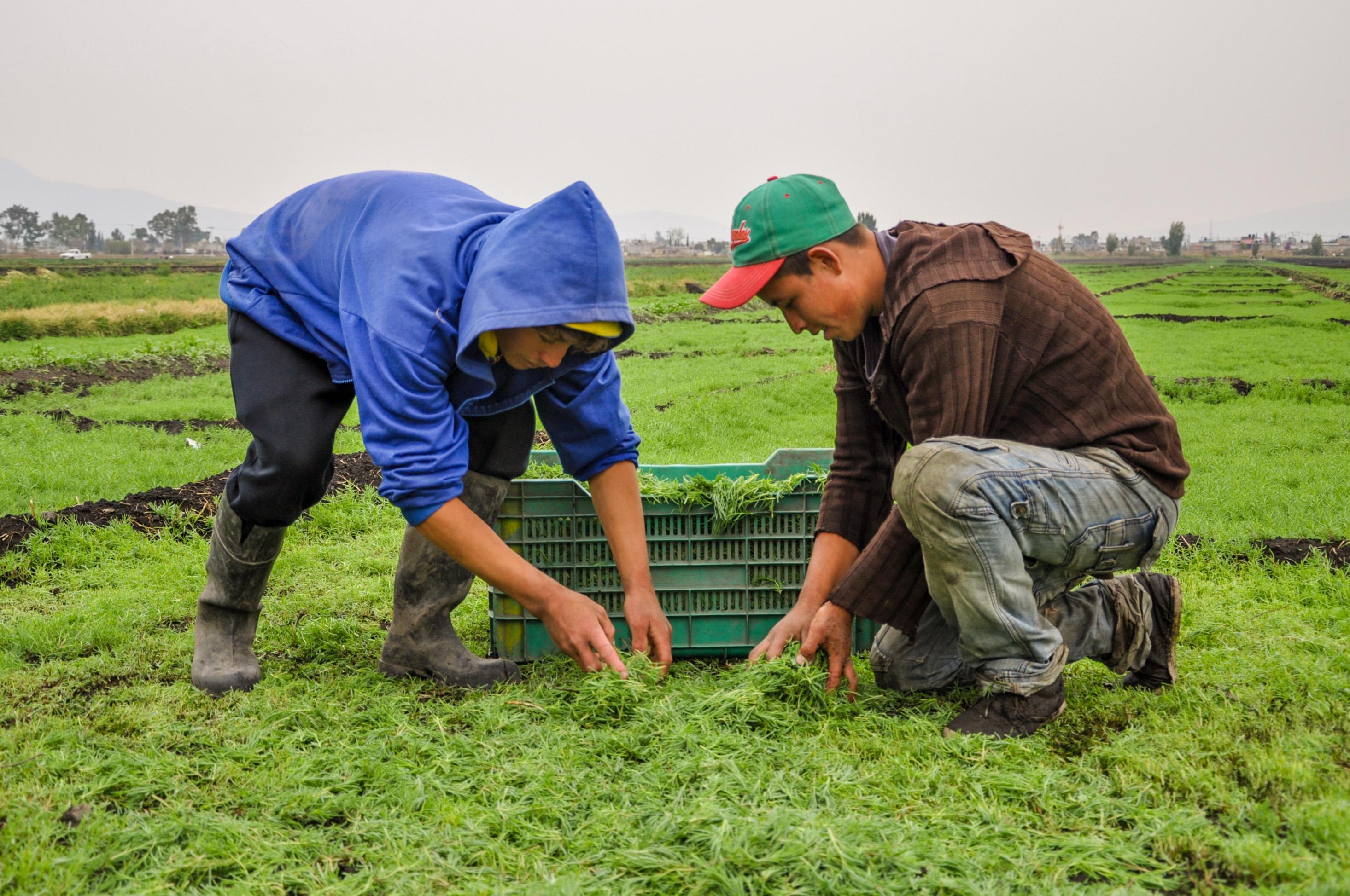 Los romeritos son cultivados en una superficie de 565 hectáreas, pertenecientes en su mayoría a las delegaciones Tláhuac y Xochimilco, y el valor de la producción es de alrededor de 20 millones de pesos.