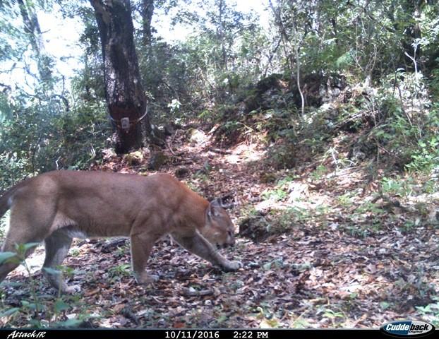 Se corrobora presencia de puma y jaguar en el parque for Marmoles y granitos naturales