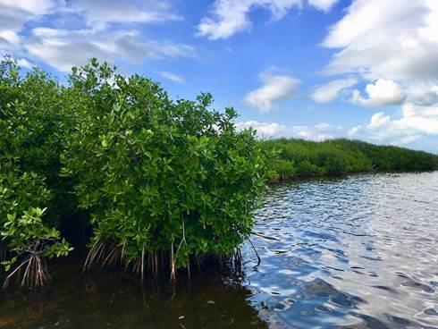 El manglar brinda importantes servicios ecosistémicos