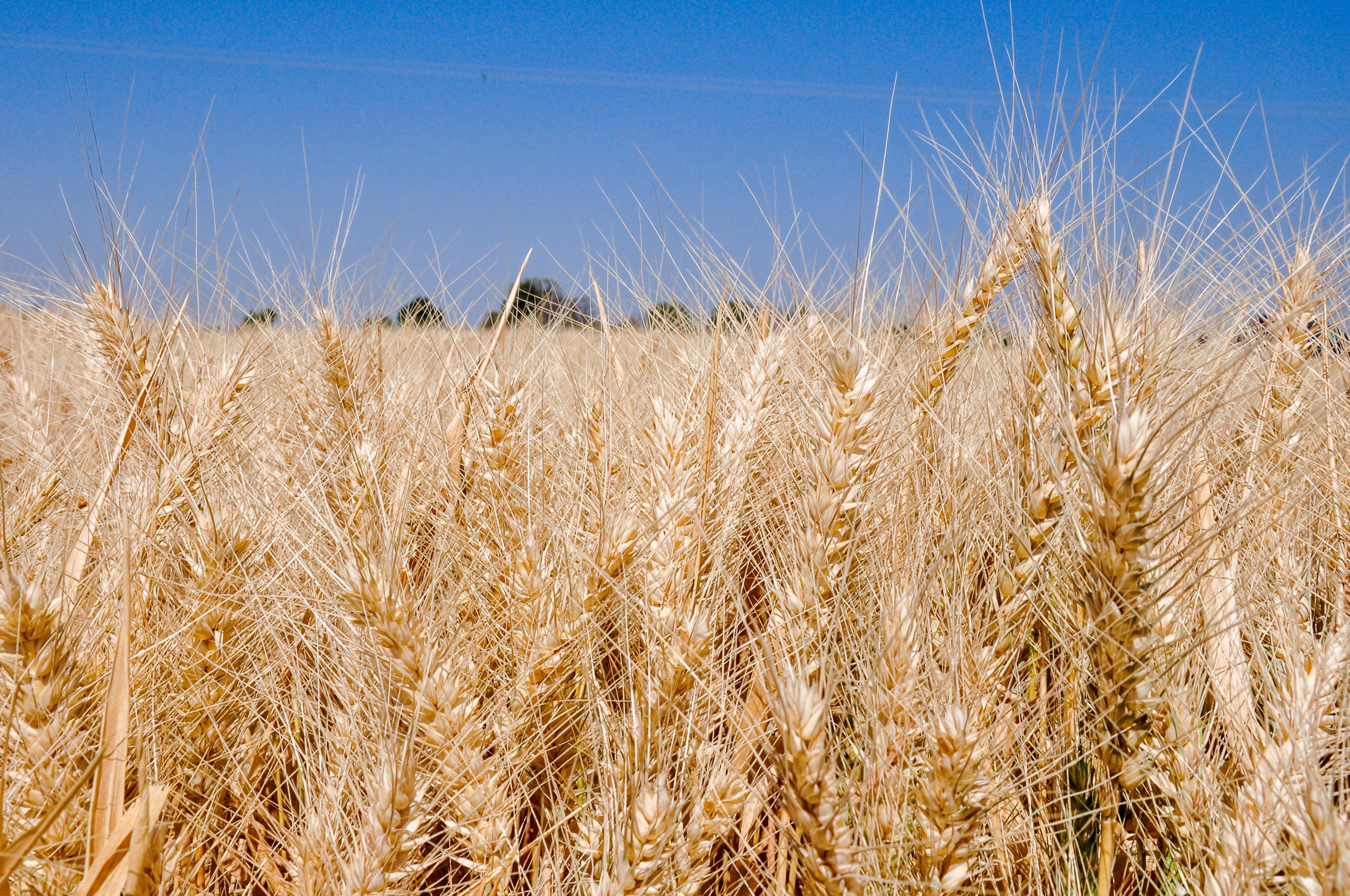 La producción de trigo se ubica en 3.7 millones de toneladas al mes de septiembre de este año, lo que representa un incremento de alrededor de 200 mil toneladas en relación a lo obtenido en el mismo lapso del año previo.