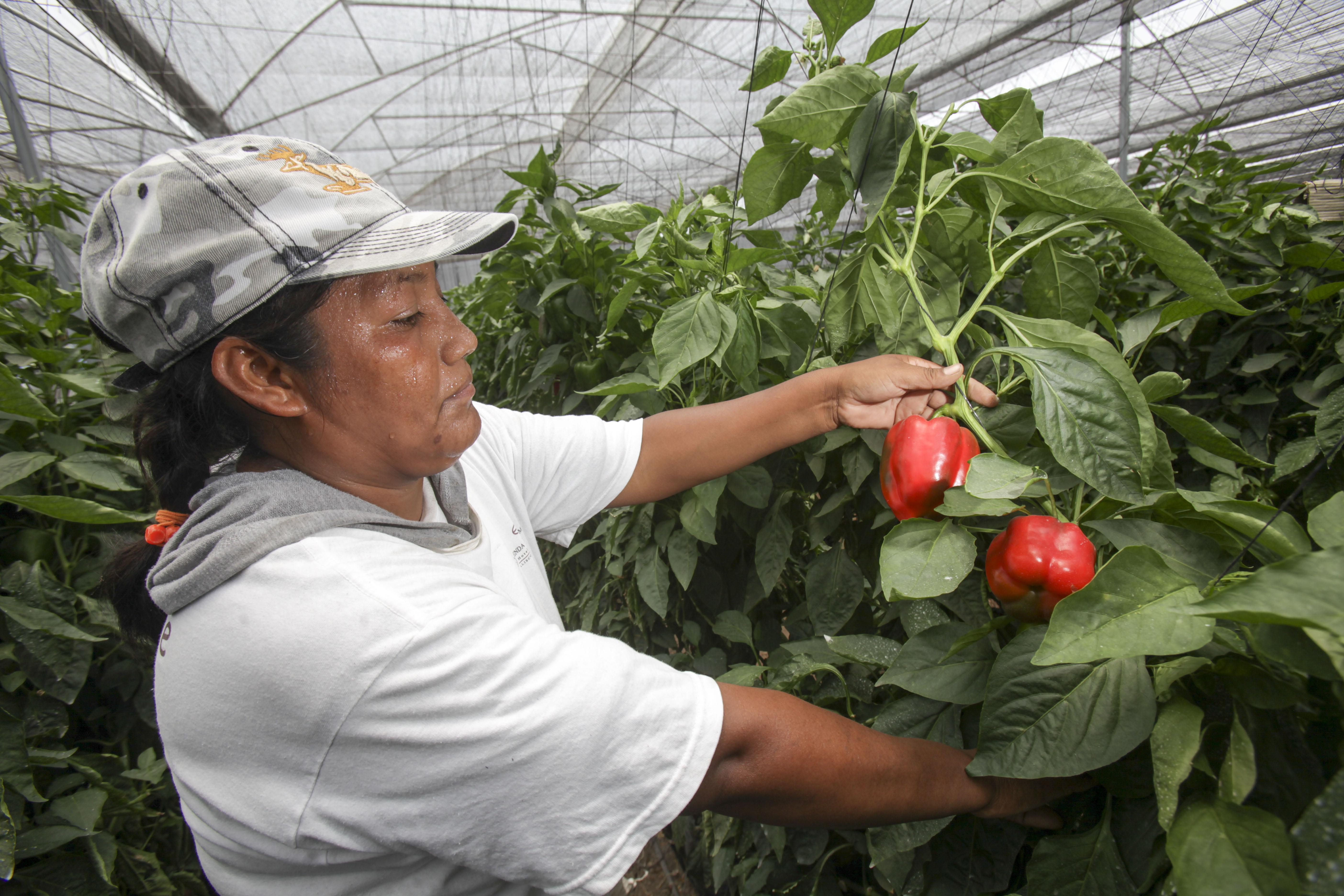 La producción de chile en sus diferentes variedades en México alcanzó las 2.3 millones de toneladas, con un valor que rebasa los 22 mil 500 millones de pesos.