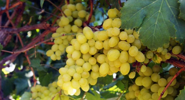 La apertura del mercado de Australia para la uva de mesa de Sonora, es un importante logro del Gobierno de México.