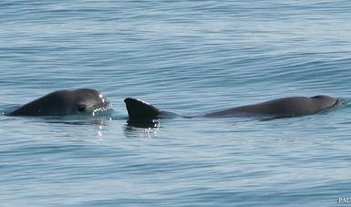 La vaquita marina no solo es difícil de encontrar, sino que además suele ser esquiva a los buques motorizados.
